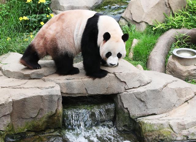 大熊猫水边乘凉