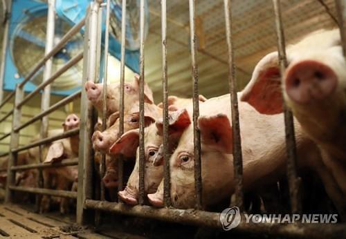 돼지열병, 아프리카돼지열병(ASF)과 다르다 증상과 감염 경로는?