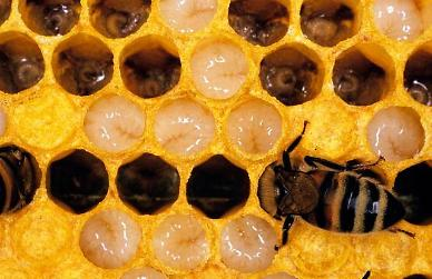 .Male honey bee larva earns title of edible insect in S. Korea.