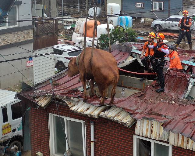 [슬라이드 화보] 위험천만 지붕 위의 소 구출 작전