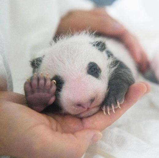 爱宝乐园大熊猫宝宝满月