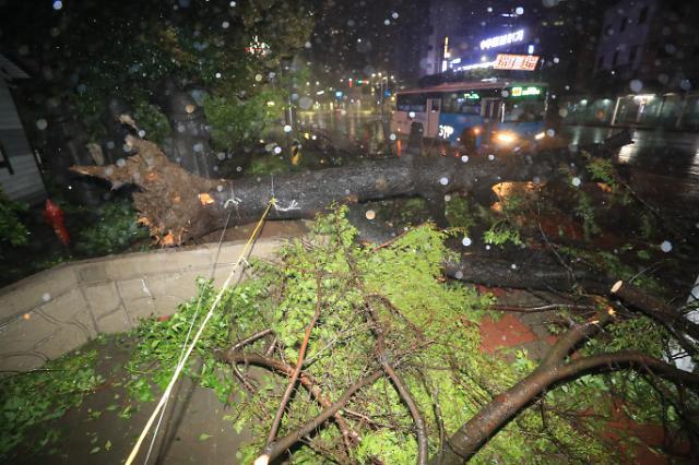 [포토] 태풍 마이삭 제주 강타, 강풍에 꺾인 가로수