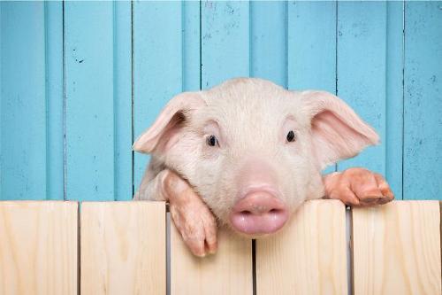 독일 아프리카돼지열병 확산...중국 수출길도 닫히나