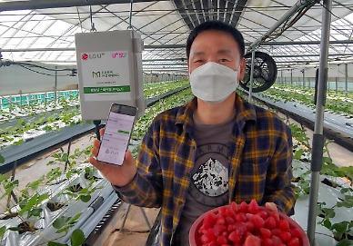 LG유플러스의 스마트팜, 속초 딸기 농사에 투입된다