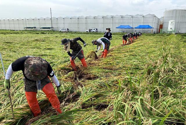 태풍 피해 벼, 정부 21일부터 사들인다
