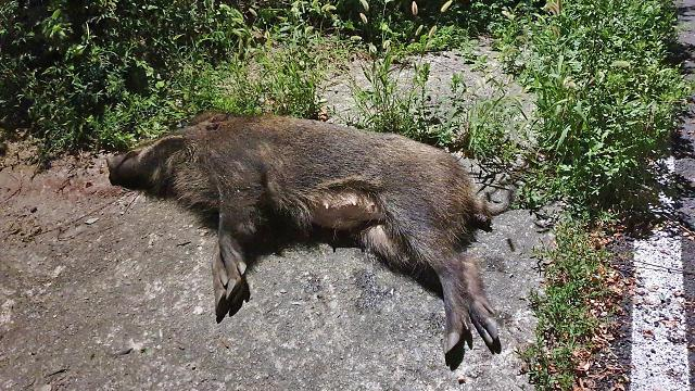 Special winter hunting period declared to reduce wild boar population