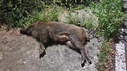.Special winter hunting period declared to reduce wild boar population.