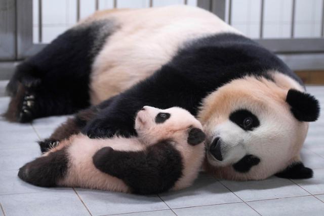 韩国爱宝乐园为大熊猫福宝办出生百日纪念活动