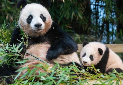 """熊猫""""福宝""""明日起开放预约参观"""