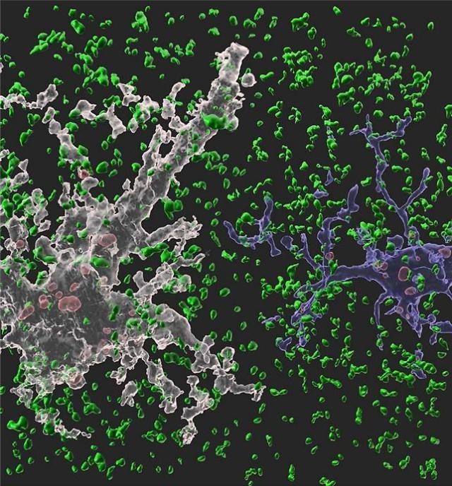 네이쳐(Nature)에 수록된 이번 연구 이미지. 흰색 별아교세포와 파란색 미세아교세포가 시냅스(정상 시냅스는 녹색, 신경교세포에 의해 제거된 시냅스는 붉은색)를 제거하고 있는 모습.[사진 = 카이스트]