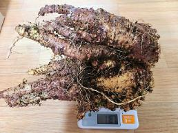 Mountain road workers discovers lance asiabell root estimated to be over 100 years old