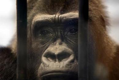 영장류 최초 고릴라도 코로나19 감염...美동물원서 집단 양성반응