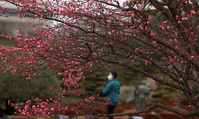 [포토] 포근한 겨울 날씨, 꽃망울 터트린 홍매화