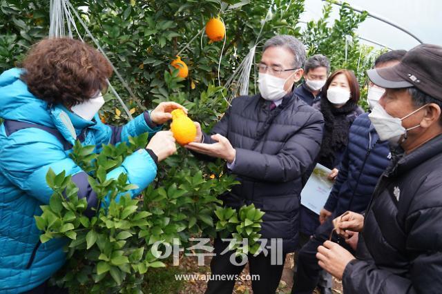 경북 고령, 유망 아열대작목 한라봉 본격 출하
