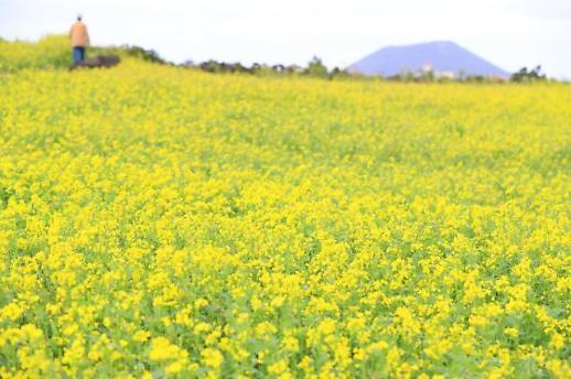 济州岛油菜花开成海
