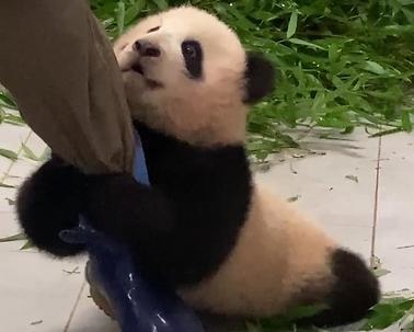 首只在韩出生大熊猫视频人气火爆