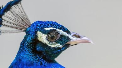 Researchers imitate structural coloration of bird feathers to develop reflective display