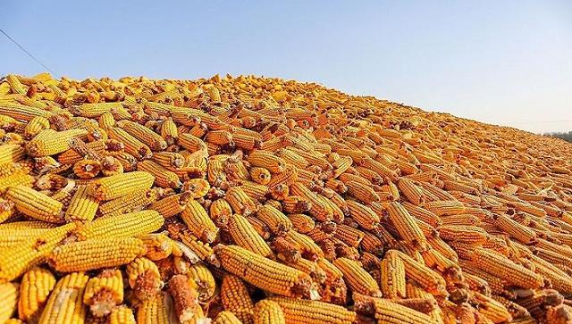 中 바이든 취임 후 연일 美 옥수수 대량 구매