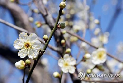 Hoa mận những ngày đầu xuân