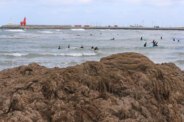 Unseasonal attack by brown macroalgae from China causes damage to sea farms in S. Korea