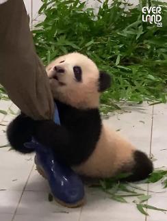 韩国爱宝乐园举行熊猫福宝粉丝大赛