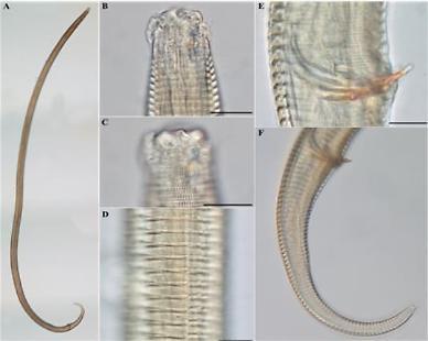 .Researchers find new roundworm species near Dokdo.