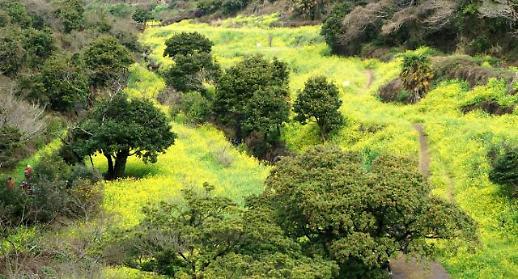 济州岛油菜花盛开