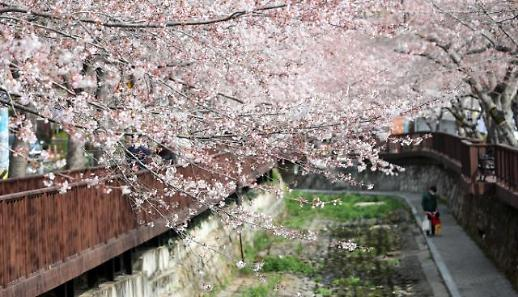 樱花烂漫赏春光