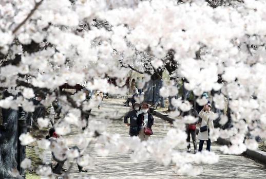 樱花满枝头