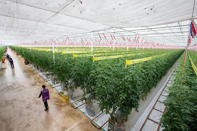 """[르포] 홈플러스 스낵토마토 산지 """"계약재배로 농장 2배 늘릴 수 있게 됐죠"""""""