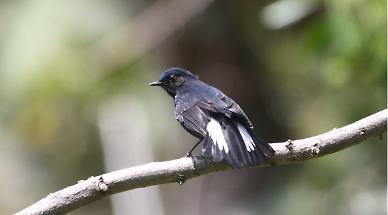 국립공원공단, 국내 관찰되지 않던 흰꼬리유리딱새 확인