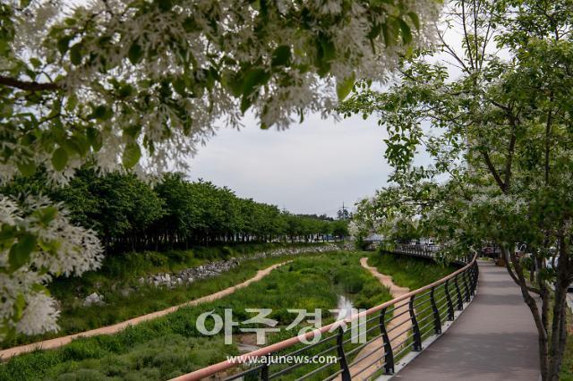 홍성군 '이팝나무 만개' 새하얀 눈꽃으로 설(雪)레는 5월