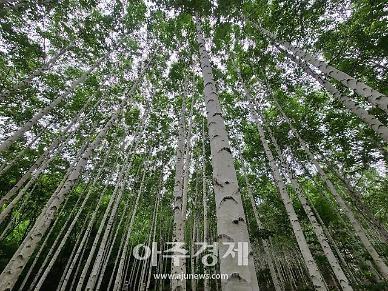 [기수정의 여행 in] 순백의 자작나무 숲길·칠흑 속 쏟아지는 별빛