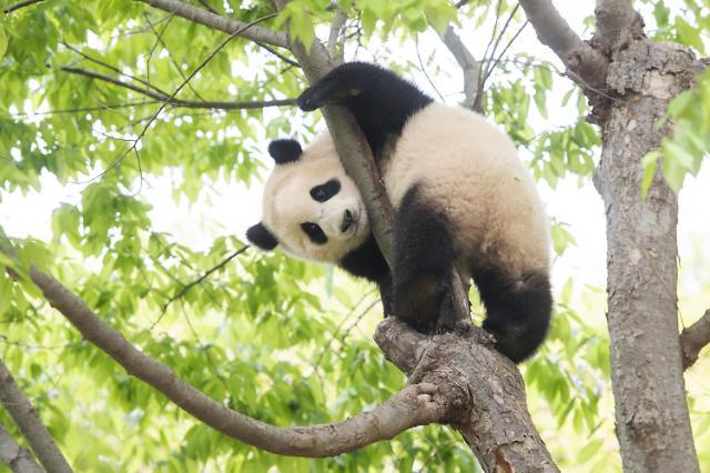 大熊猫福宝将迎周岁 爱宝乐园举办生日庆典