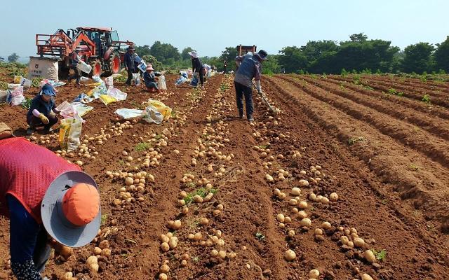 농심, 청년농부가 심은 감자로 '수미칩' 만든다