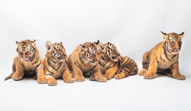 """""""호랑이 5둥이 이름 지어주세요"""" 에버랜드, 한국호랑이 5남매 이름짓기 공모"""