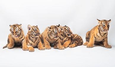 호랑이 5둥이 이름 지어주세요 에버랜드, 한국호랑이 5남매 이름짓기 공모