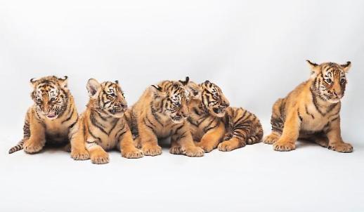 等你来起名 爱宝乐园5只老虎宝宝公开征名