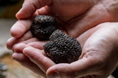 S. Korea pushes to develop cultivation method for truffle mushrooms using gene technology